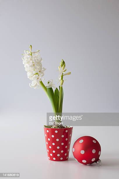 Hyacinth in a red and white flowerpot