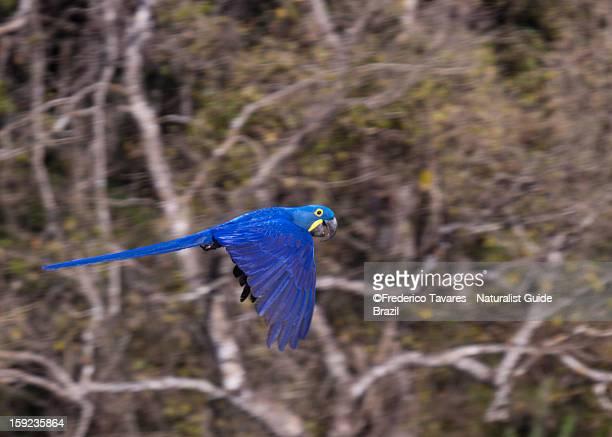 hyacinth macaw - arara-azul - arara azul grande imagens e fotografias de stock