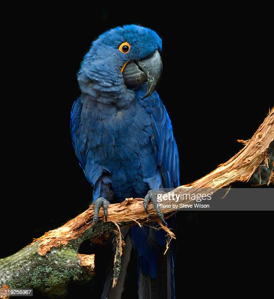 hyacinth macaw at chester zoo - chester zoo stock pictures, royalty-free photos & images