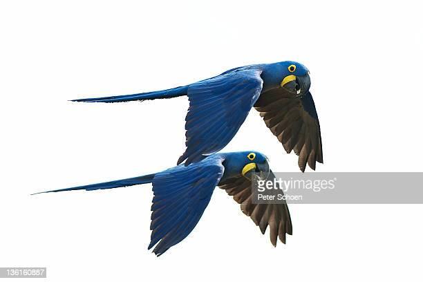 hyacinth macaw couple in flight - arara azul grande imagens e fotografias de stock