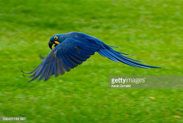hyacinth macaw (anodorhynchus hyacinthinus) flying with palm nut - arara azul grande imagens e fotografias de stock
