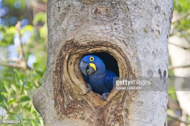 Hyacinth Macaw in nest entrance on October 9 Brazil