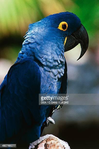 Hyacinth macaw or Hyacinthine macaw Psittacidae