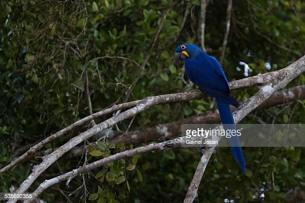hyacinth macaw, pantanal brazil - arara azul grande imagens e fotografias de stock