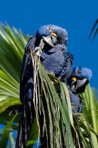 Hyacinth macaw (Anodorhynchus hyacinthinus), Pantanal, Mato Grosso do Sul, Brazil, South America