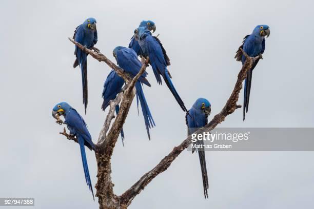 hyacinth macaw (anodorhynchus hyacinthinus), parrot, pantanal, mato grosso do sul, brazil - arara azul grande imagens e fotografias de stock