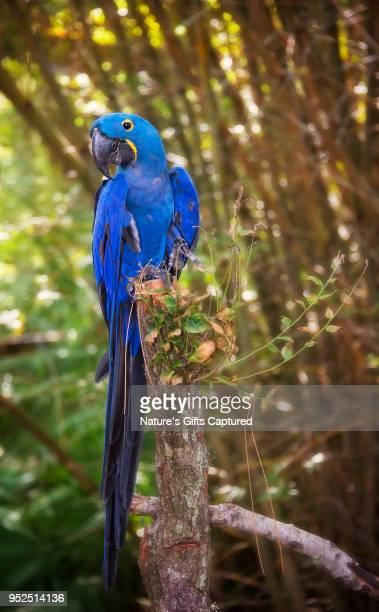 hyacinth macaw parrot - arara azul grande imagens e fotografias de stock