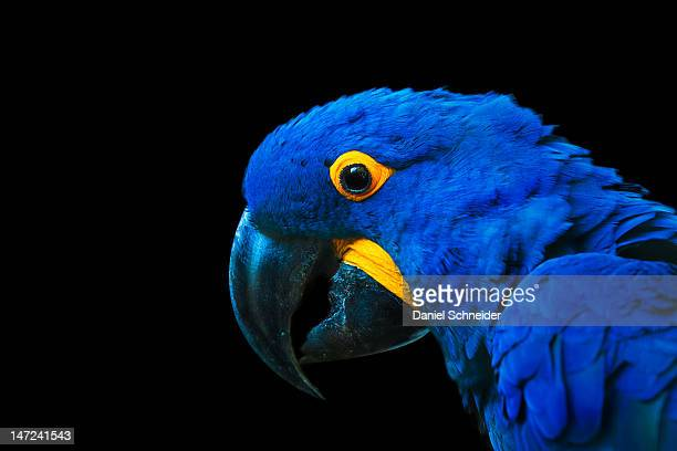 hyacinth macaw parrot portrait - arara azul grande imagens e fotografias de stock