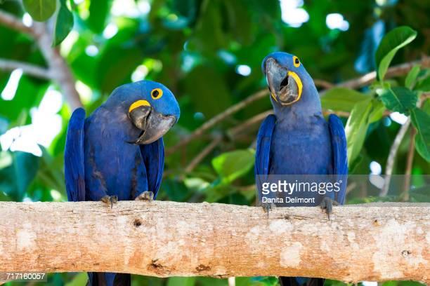 hyacinth macaw (anodorhynchus hyacinthinus) perching on branch in pantanal, mato grosso, brazil - arara azul grande imagens e fotografias de stock