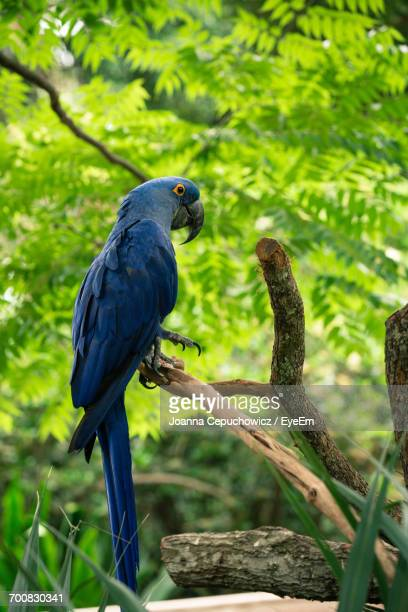 hyacinth macaw perching on branch - oiseau tropical photos et images de collection