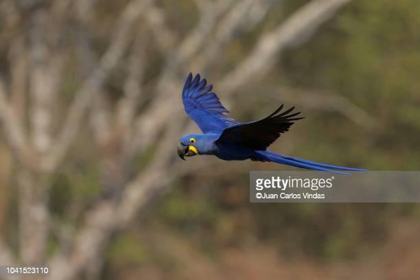 hyacinth macaw (anodorhynchus hyacinthinus) - arara azul grande imagens e fotografias de stock