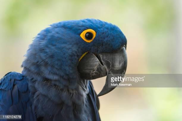 hyacinth macaw - arara azul grande imagens e fotografias de stock