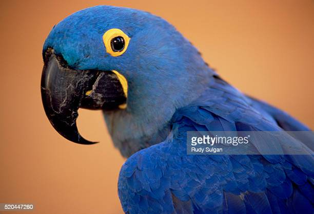 hyacinth macaw - macaw stock pictures, royalty-free photos & images