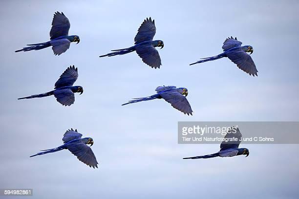 Hyacinth macaw, (Anodorhynchus hyacinthinus)