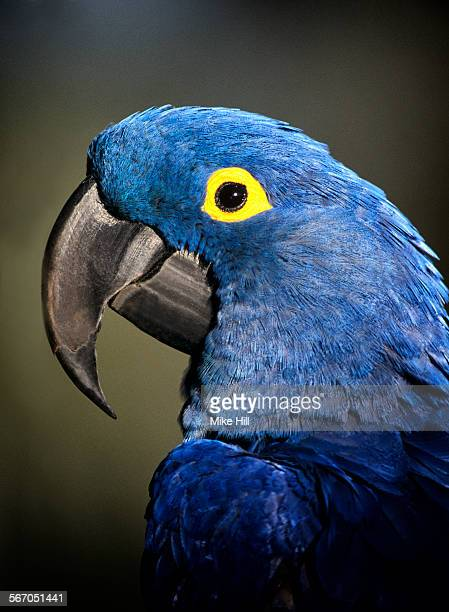 hyacinth macaw portrait - コンゴウインコ ストックフォトと画像