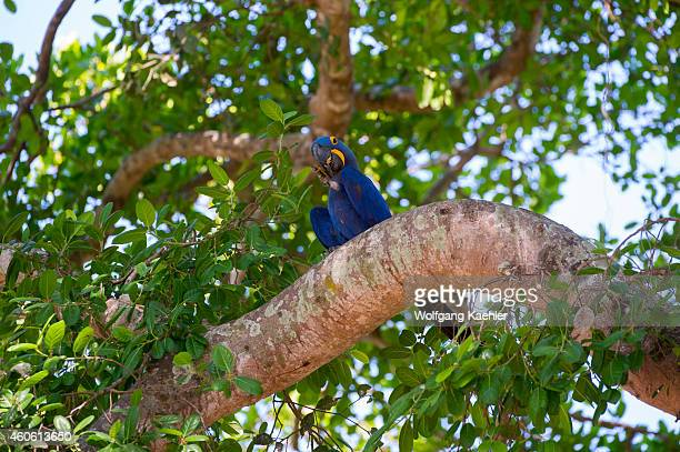 Hyacinth macaw sitting in a tree at Porto Jofre in the northern Pantanal Mato Grosso province in Brazil
