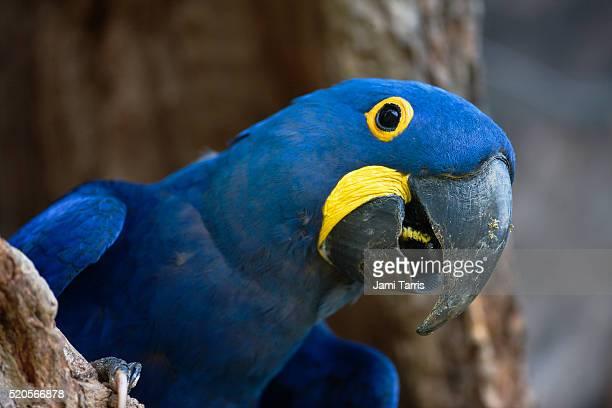 hyacinth macaw squawks from his nest - arara azul grande imagens e fotografias de stock