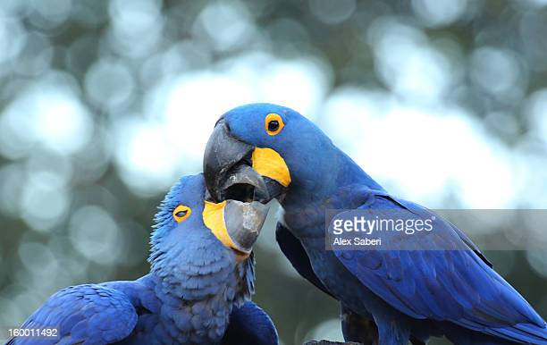 hyacinth macaws, anodorhynchus hyacinthinus, playing. - alex saberi stock pictures, royalty-free photos & images