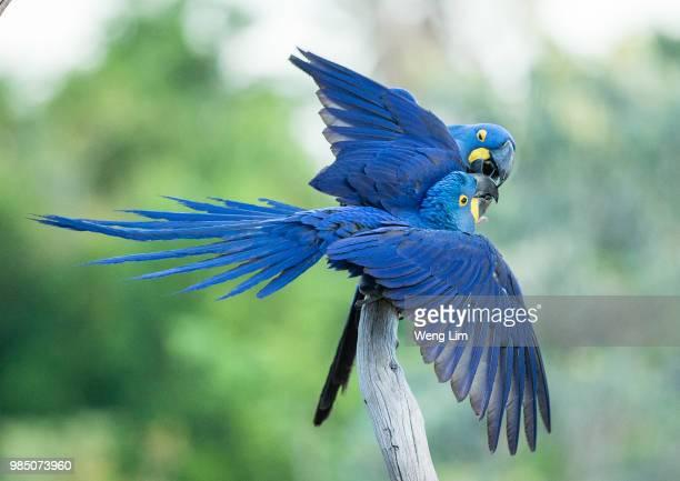 hyacinth macaws bonding - arara azul grande imagens e fotografias de stock