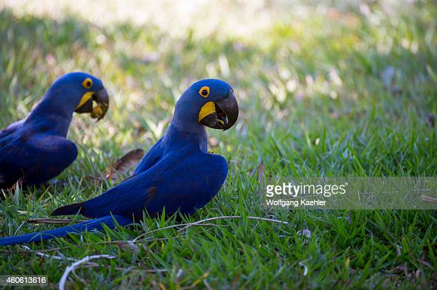 Hyacinth macaws feeding on palm tree nuts at Porto Jofre in the northern Pantanal Mato Grosso province in Brazil