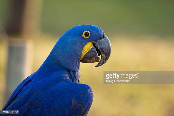 hyacinth macaws - arara azul grande imagens e fotografias de stock