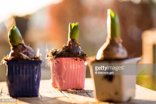 hyacinth - blumenzwiebel stock-fotos und bilder