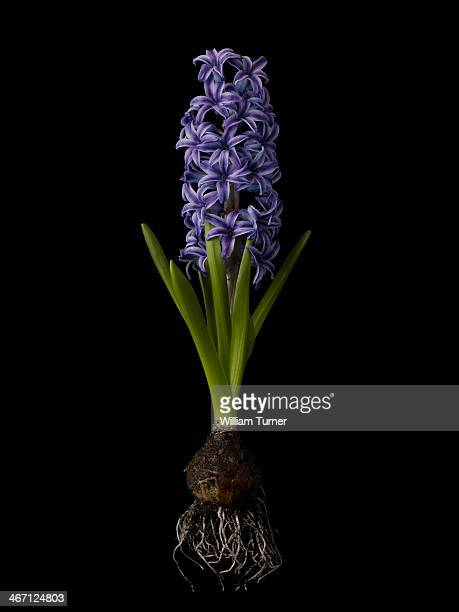 hyacinth plant on black background, showing bulb. - hyacinth stock pictures, royalty-free photos & images