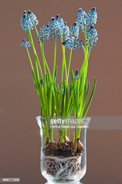 hyacinth (hyacinthus) with rhizome in a glass vase - blumenzwiebel stock-fotos und bilder