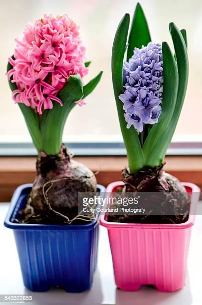 Hyacinths on the window sill
