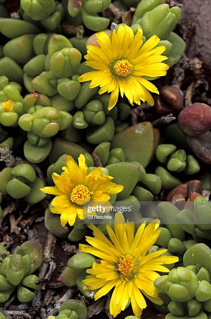 Hybrid dwarf succulent yellow daisylike flowers red butte garden hybrid dwarf succulent glottiphyllum yellow daisy like flowers red butte mightylinksfo