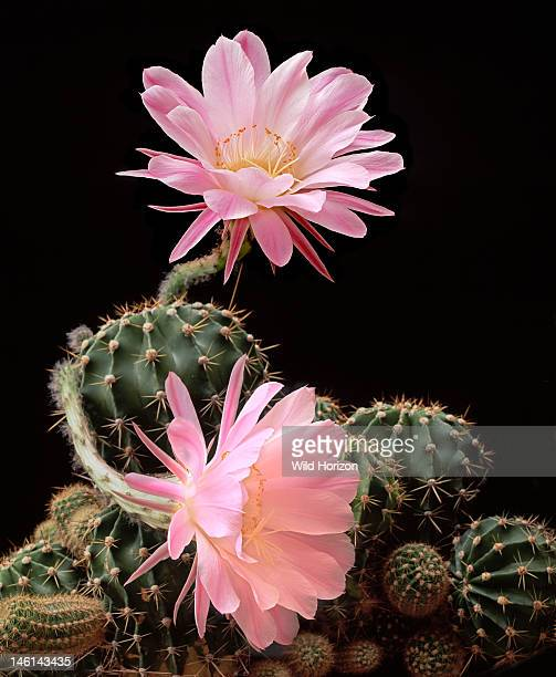 Hybrid Easter lily cactus in bloom Echinopsis hybrid Genus is native to South America Garden Arizona USA Photographed under controlled conditions