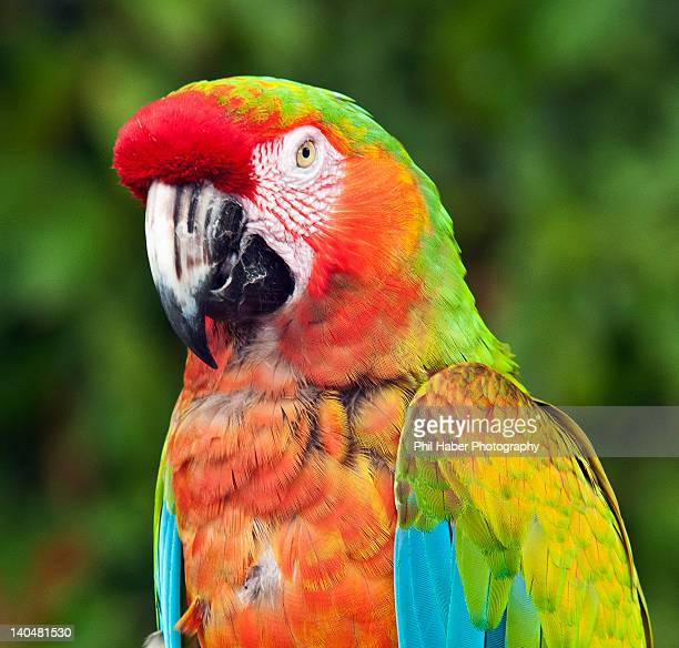 hybrid macaw - phil haber stock pictures, royalty-free photos & images