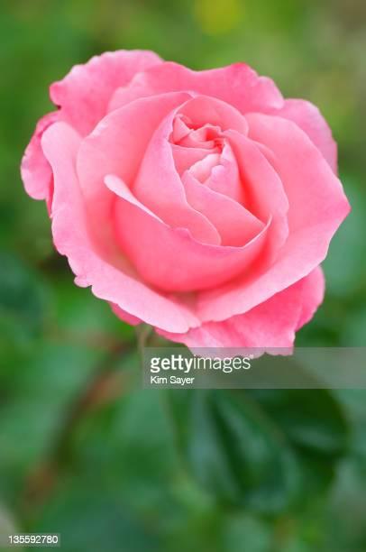 hybrid tea rose (rosa), june - kim rose stock-fotos und bilder