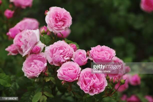 hybrid tea,  shrub rose - princess claire of belgium( visbonpa) - rose foto e immagini stock