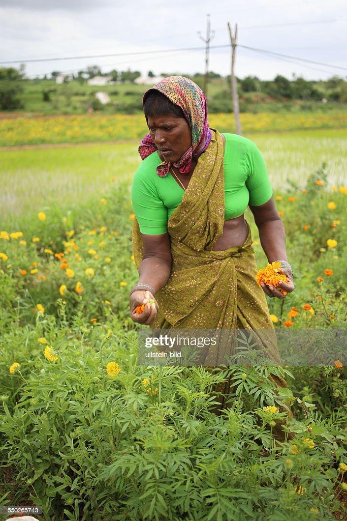 IND, Hyderabad, 20130726, Frau im Blumenfeld, Ernte : News Photo