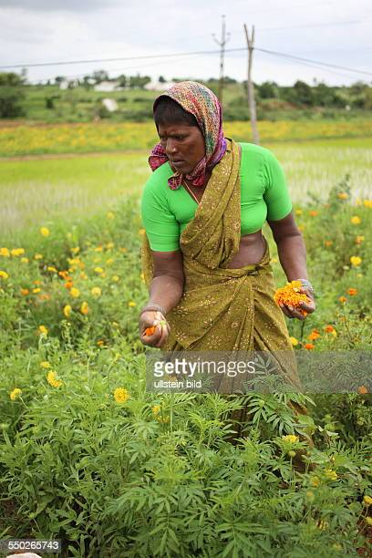 IND Hyderabad Frau im Blumenfeld Ernte
