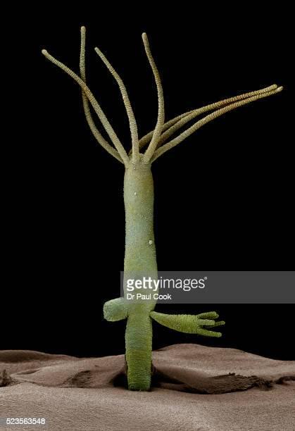 hydra viridis - cnidarian stock pictures, royalty-free photos & images