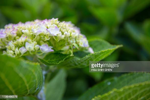 hydrangea and dragonfly - naruto stock photos and pictures