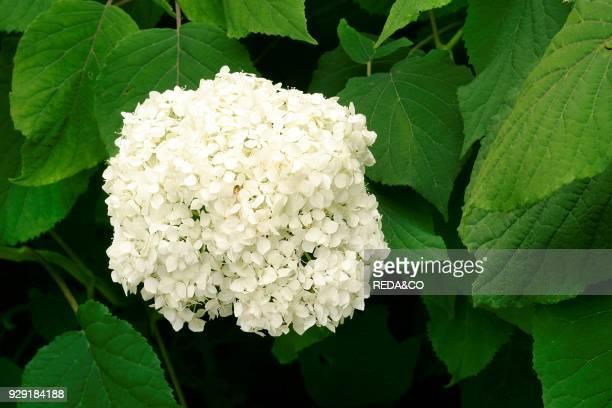 Hydrangea arborescens Annabelle sevenbark ortensia
