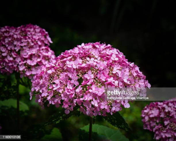 hydrangea arborescens pink annabelle - nancybelle villarroya stock photos and pictures