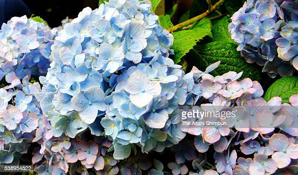 Hydrangea are in full bloom at the mein approach of the Meigetsuin Temple on June 9 2016 in Kamakura Kanagawa Japan