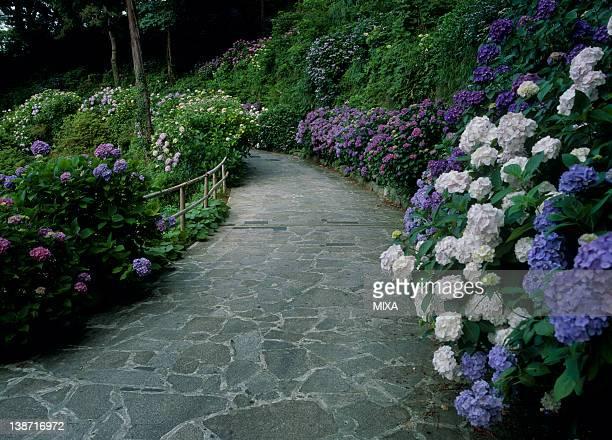 Hydrangea at Shimoda Park, Shimoda, Shizuoka, Japan