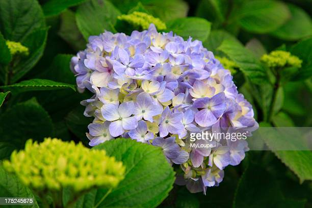 Hydrangea blooming at the Azores islands