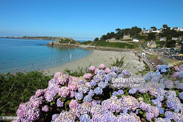 hydrangea blooming on plant against beach - cotes d'armor stock photos and pictures