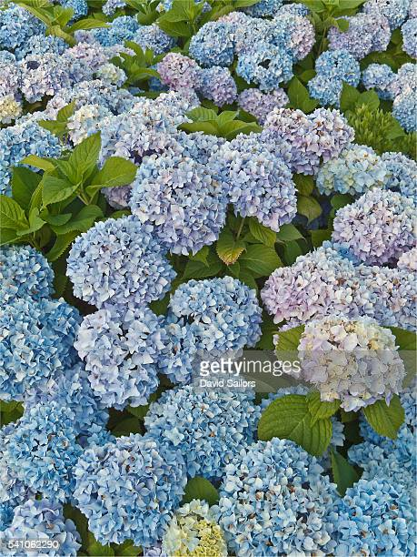 hydrangea bushes in vineyard haven - hydrangea stock pictures, royalty-free photos & images