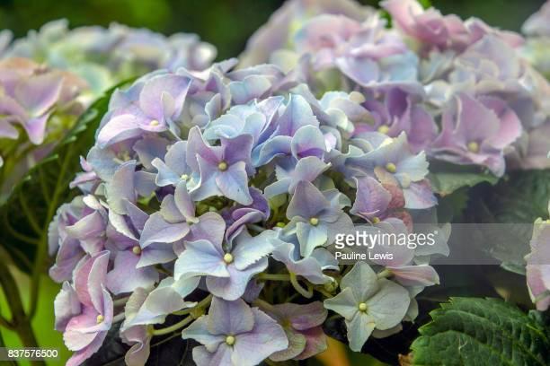 Hydrangea Colours