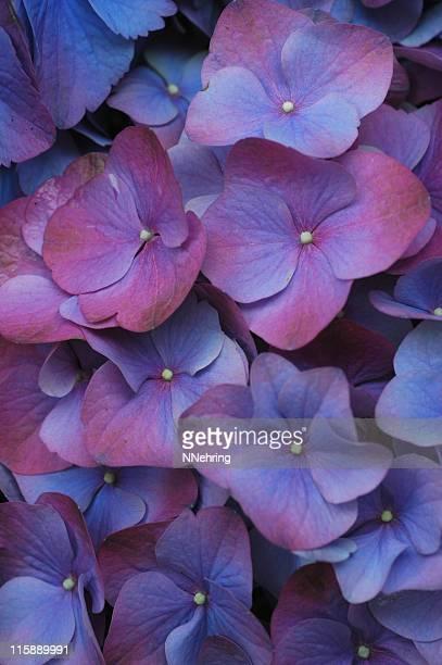 アジザイ cultivar の花