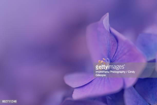 Hydrangea early spring