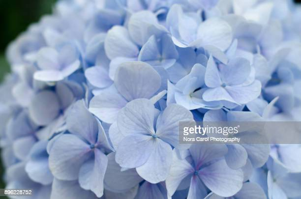 Hydrangea Flower Background