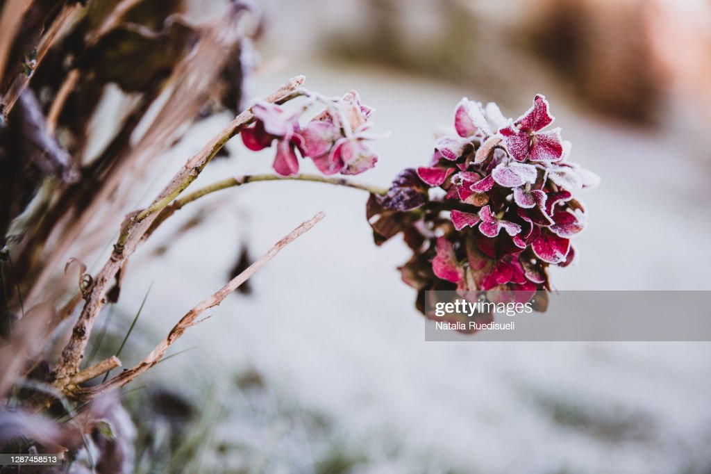 Hydrangea flower head pink colored covered with ice crystals. Frosty garden in the morning. : Stockfoto